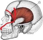 側頭骨a.jpg
