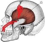 側頭骨b.jpg