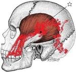 側頭骨c.jpg