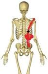 胸腸肋筋3.jpg