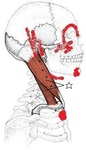 胸鎖乳突筋 胸骨部.jpg